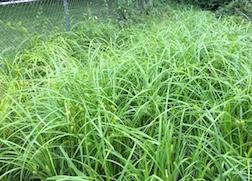 Carex lurida