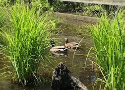 Carex lurida ducks